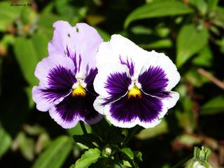 Pensée blanche à macule violette