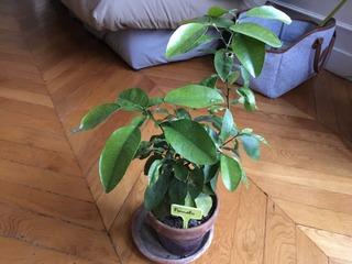 Jeunes plants de pomelo issus de semis de pépins