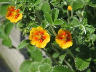 Potentille herbacée (Potentilla atrosanguinea)