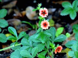 Potentilla nepalensis 'Miss Wilmott'