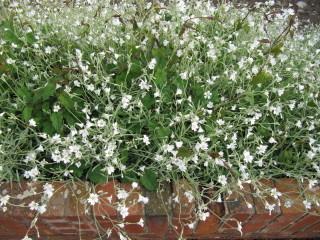 Silene - variété horticole