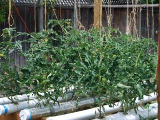 Culture hydroponique de tomates dans un jardin