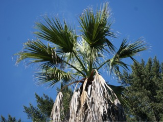 Washingtonia filifera : palmes