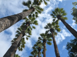 Washingtonia filifera, palmier de Californie