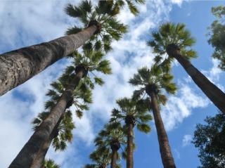 Washingtonia filifera, palmier de Californie
