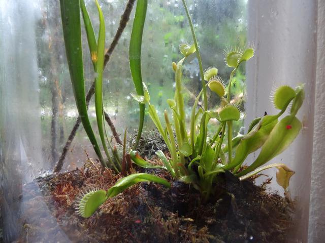 terrarium de plantes carnivores jolis terrariums. Black Bedroom Furniture Sets. Home Design Ideas