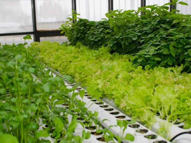 L 39 hydroponie cultiver des plantes sans sol for Jardin hydroponique