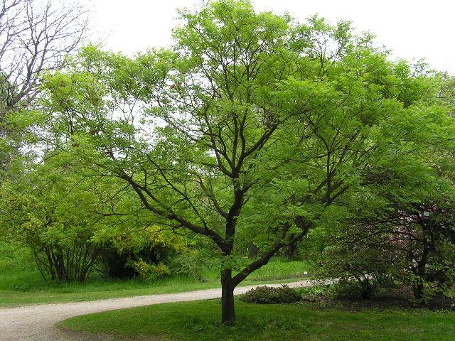 Savonnier, Koelreuteria : plantation, culture et entretien