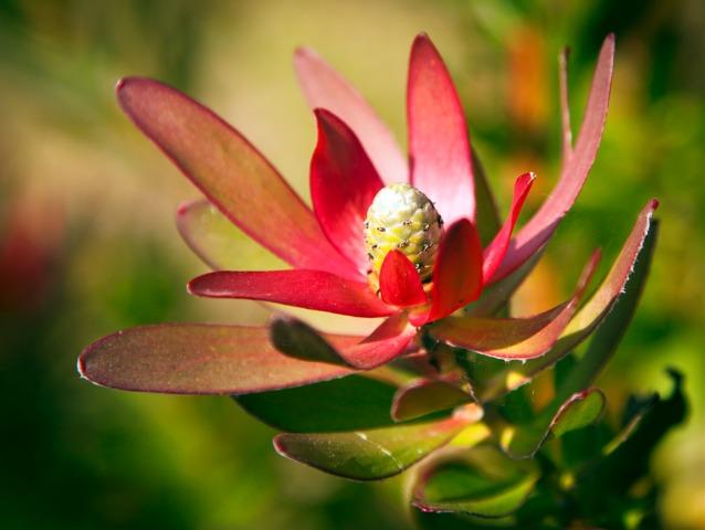 Leucadendron : plantation, culture et entretien