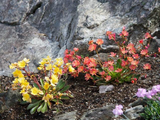Plantes alpines : quelles espèces cultiver au jardin ?