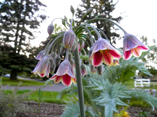 Nectaroscordum siculum, Ail de Bulgarie : plantation, culture