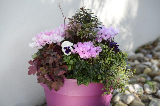 Pot e fleurie pour l 39 hiver avec des cyclamens for Plante terrasse hiver