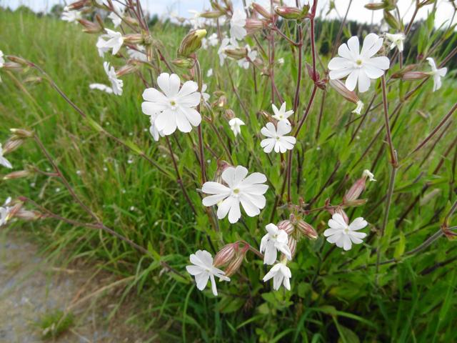 Silène : semis, culture et entretien