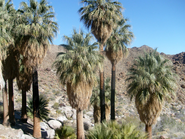 TLMVPSPlace - Page 6 Washingtonia-filifera-palmier