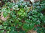 Vigne d'appartement, Cissus rhombifolia