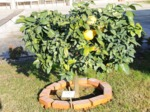 Pamplemoussier, Citrus paradisi