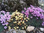 Plantes alpines : les cultiver au jardin