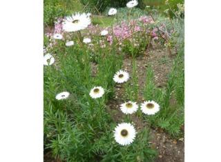 Acroclinium roseum 'Pierrot'