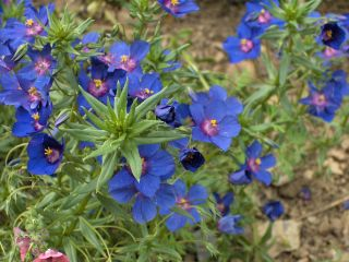 Anagallis monelli, mouron bleu