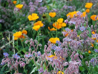 Borage and California poppies
