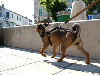 Gros chien promené en laisse