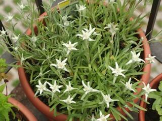 Edelweiss en pot