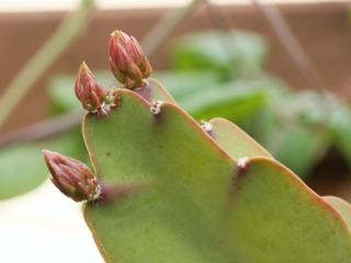 Epiphyllum : boutons floraux