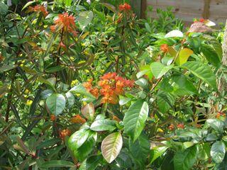 Euphorbia griffithii 'Fern Cottage'