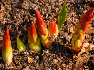 Jeunes pousses d'euphorbe de Griffith au printemps
