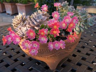 Lewisia et autres plantes grasses en pot