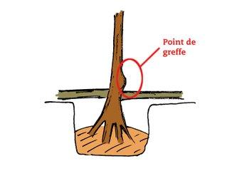 Point de greffe sur arbre fruitier