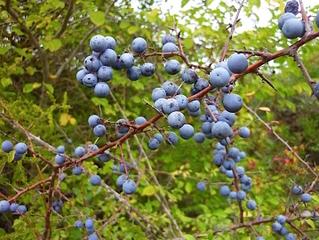Prunellier : fruits et épines