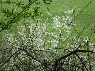 Prunellier, Prunus spinosa