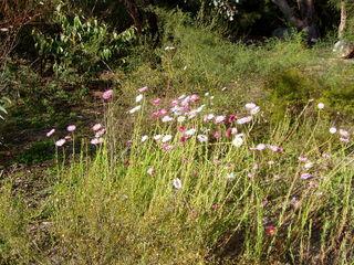 Rhodanthe chlorocephala rosea dans son milieu naturel