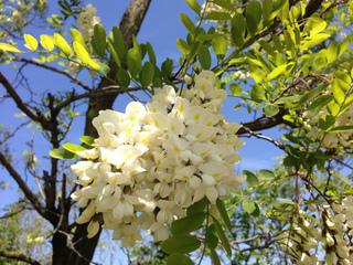 Fleur de robinier faux acacia