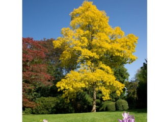Robinia pseudoacacia 'Frisia' en septembre