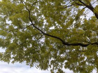 Robinia pseudacacia 'Frisia' en juin