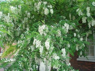 Robinia pseudoacacia en mai
