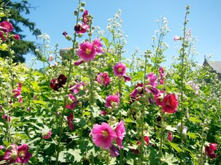 Roses trémières variée