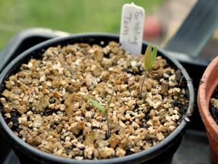 Semis de tomate avec paillage de vermiculite