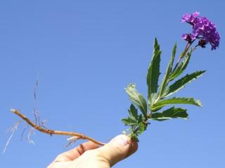 Verbena rigida, racine rhizomateuse
