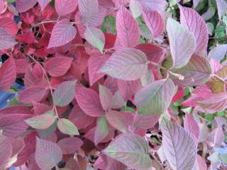 Viburnum plicatum 'Mariesii' en automne