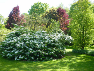 Viburnum plicatum - Viorne de Chine