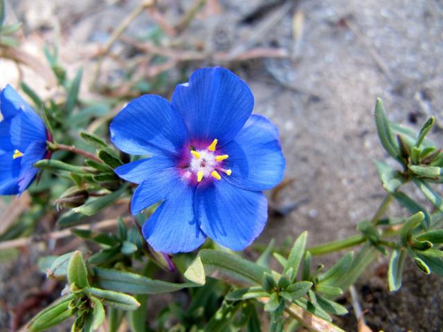 Anagallis monelli, mouron bleu de Monel : semis, culture et entretien