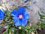Anagallis monelli, mouron bleu de Monel