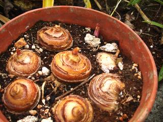 Ail rouge, Scadoxus multiflorus : bulbes