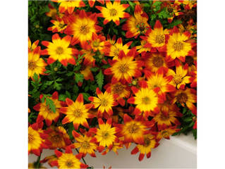 Bidens Beedance® Painted Red
