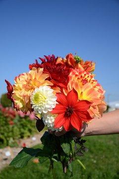 Bouquet de dahlias