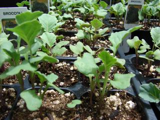 Semis de chou brocoli en godets