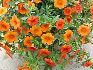Calibrachoa Mini Famous® orange